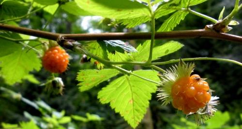 berry 01