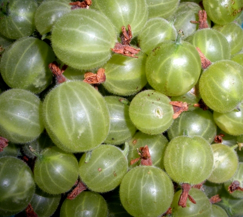 These gooseberries made Morgen's morning. But it turns out that they're so sour that she can only make a jam out of them.